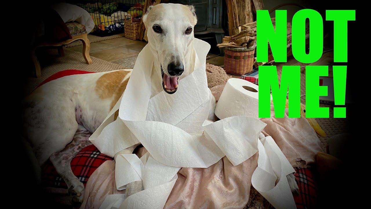 greyhound pierdere în greutate