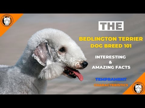 Bedlington Terrier Dog Breed - Bedlington Terrier (Puppy) Temperament Characteristics Facts & Traits