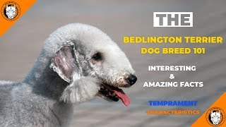 Bedlington Terrier Dog Breed  Bedlington Terrier (Puppy) Temperament Characteristics Facts & Traits