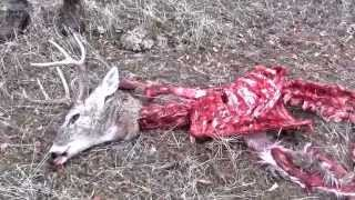 Buck Fight: Whitetail Battle To The Death