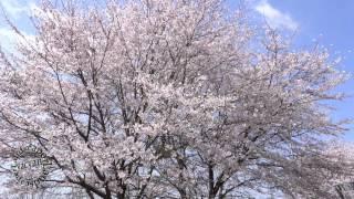 ヨハンシュトラウスⅡ「春の声」  Voices Of Spring Waltz (桜 japanese cherry blossoms)