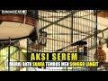 Aksi Serem Murai Batu Suara Tembus Men Songgo Langit  Mp3 - Mp4 Download