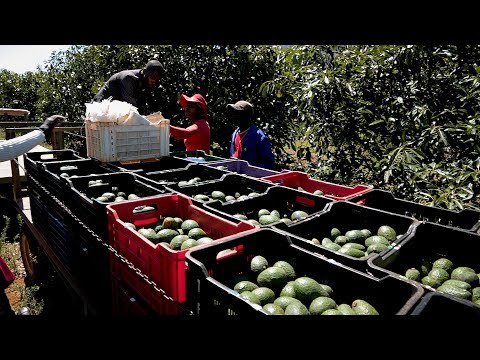 Farming for the future-avocado farming