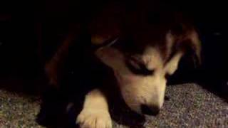 Alaskan Malamute Puppy Nova Sleeping and Snoring