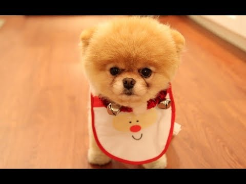 Лучшие Приколы про шпицев  | Подборка приколов про собак и щенков померанских шпицев #2