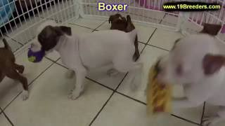 Boxer, Puppies, For, Sale, In, New York, City, Ny, Albany, State, Up