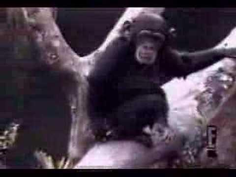 自分の匂いでひっくり返るチンパンジー