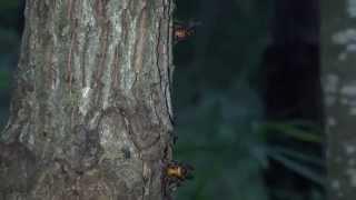 (4K)昆虫図鑑・オオスズメバチとヒメスズメバチ - Asian giant hornet