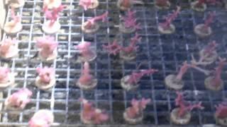 SPS Coral Farming at Pacific East Aquaculture