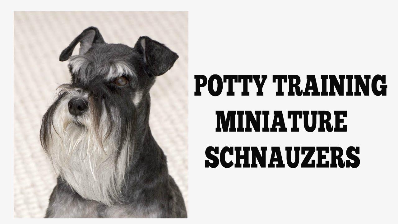 How To House Train Miniature Schnauzers