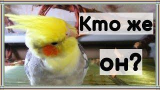 КАКОЙ ПОПУГАЙ САМЫЙ ЛЕГКИЙ В СОДЕРЖАНИИ? Какого попугая выбрать.