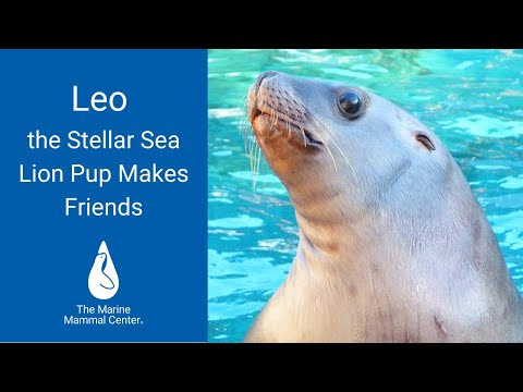 Leo the Steller Sea Lion Pup Makes Friends