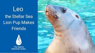 Leo the Steller Sea Lion Pup Makes Friends
