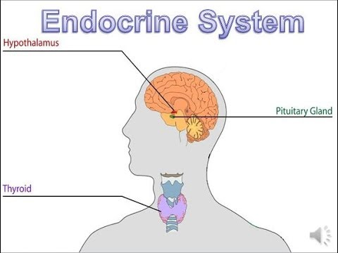 Endocrine system updated youtube endocrine system updated ccuart Image collections