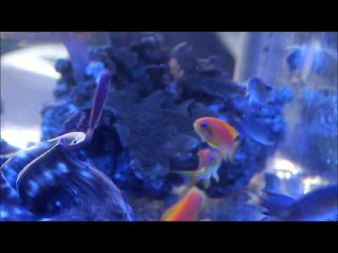 Vanderbuilt Chromis with Anthias