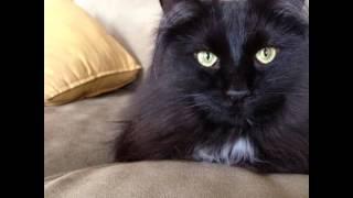 Шантильи-тиффани (Chantilly-Tiffany) породы кошек( Slide show)!