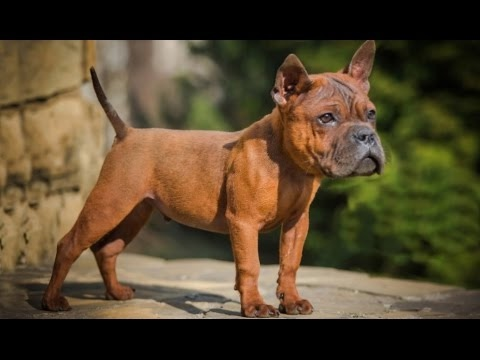 DOG BREED The 10 Most Ancient Fastest Dog Breed [Mr Fahey]