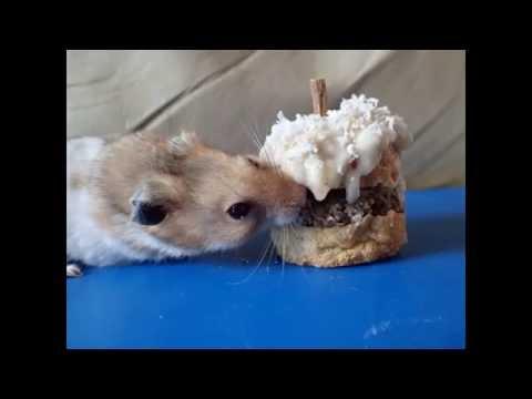 Hamster Birthday Cake Safe Recipe YouTube - Hamster birthday cake