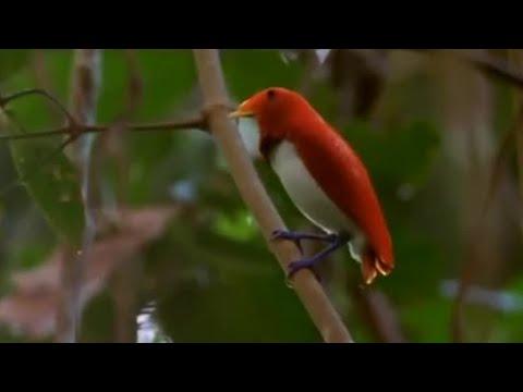 Dancing birds of paradise   Wild Indonesia   BBC