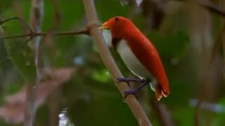 Dancing birds of paradise | Wild Indonesia | BBC