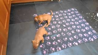 Yazash Staffordshire Bull Terrier Pups 6 Weeks Old.  Red X Tintin.