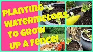 Planting Watermelon Seedlings To Grow Up A Fence | Vertical Container Gardening Watermelons