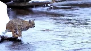 Incredible Long Jump Of The Bobcat!