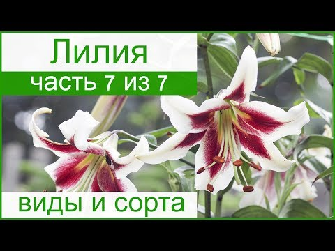 Виды и сорта лилий садовых – описание