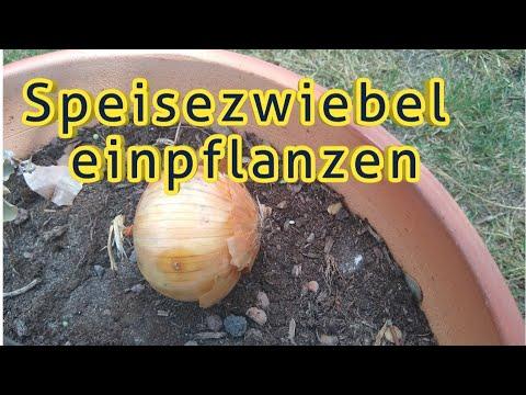 Zwiebel Einpflanzen Keimende Zwiebeln Einpflanzen Speisezwiebel Im Topf Pflanzen Vermehren Anbauen