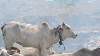 Cow Being Slowly Strangled By Rope Gets Rescued from Garbage Dump
