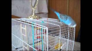 Домашние птицы попугаи - волнистый попугай Илюшка опять удивляет своей уникальностью!!!