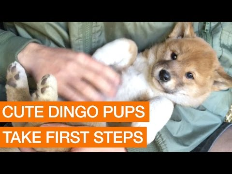 Cute Dingo Pups Take First Steps (Package)