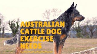 Australian Cattle Dog Exercise Needs & Ideas