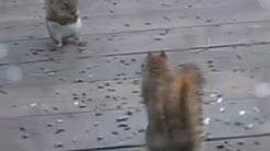 Squirrel Fight!!