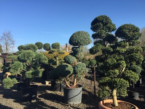 Ilex Crenata Kimne Bonsai Cloud Tree Anese Holly