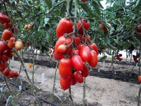 Описание и характеристика сортов томатов Ниагара, Каскад