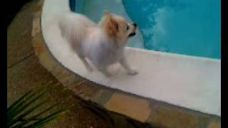 Sammie Cute Pomeranian - Walking The Run Way