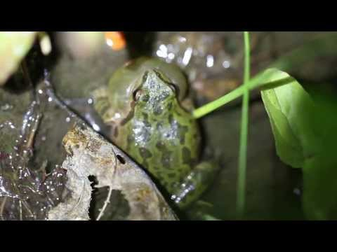 Pacific Treefrog Calling