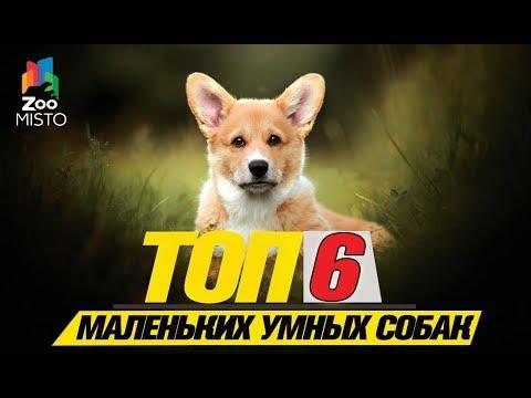 Топ 6 маленьких умных собак\Top 6 small smart dogs