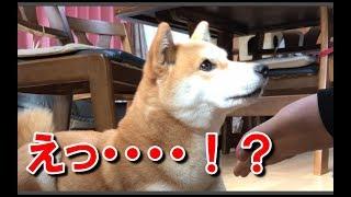 柴犬ハナとおやつ当てゲームをやってみました。 間違った時のハナの顔は...