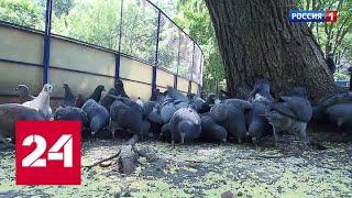 Столичных голубей предлагают посадить на диету - Россия 24