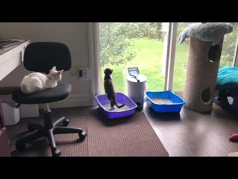 Devon Rex Kittens Lazy Sunday Morning