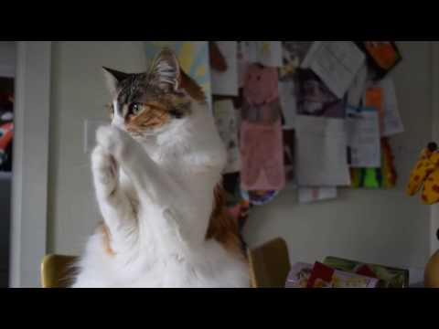 Cat Clapping
