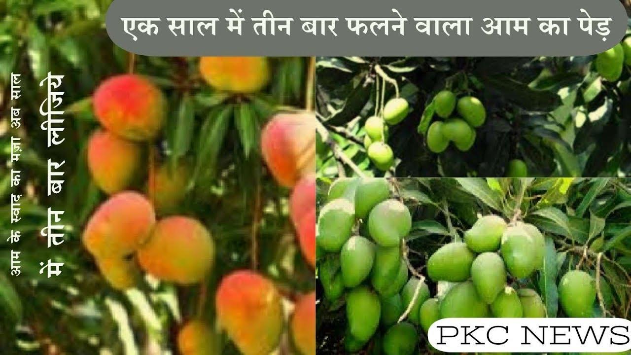 एक साल में तीन बार फलने वाला आम का पेड़ -Discover of india mango tree