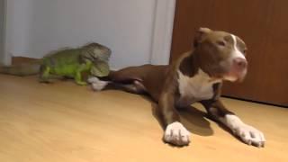 Green Iguana & Pitbull