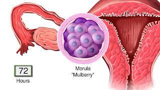 What Happens After Fertilization? Human Embryo Development Animation Video - Blastocyst Implantation