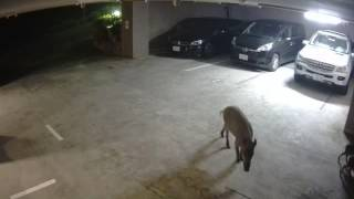 マンションの敷地内に平然と入ってくるイノシシ一家を監視カメラが撮影...
