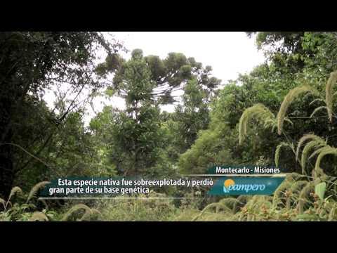 Araucaria, una especie nativa en peligro