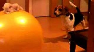 Beagle that fears balance ball.