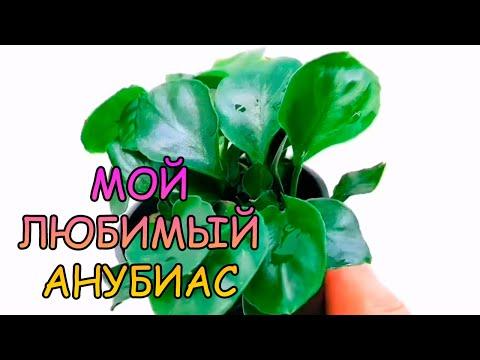 "АНУБИАС НАНА МОНЕТОЛИСТНЫЙ / Anubias barteri var. nana ""Coin Leaf"